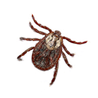 Brown Tick